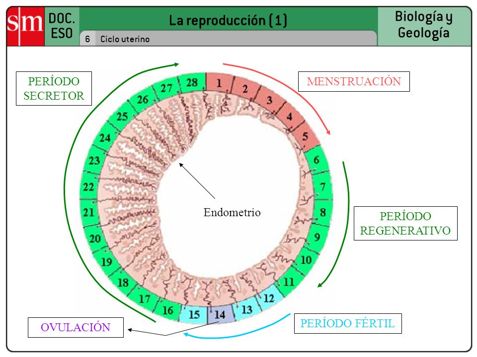 DOC. ESO Biología y Geología 7Ciclo ovárico y ciclo uterino REGLA OvarioMucosa La reproducción (1)