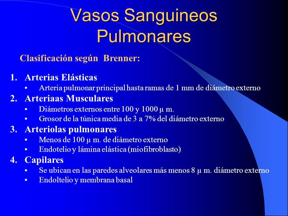 Vasos Sanguineos Pulmonares Clasificación según Brenner: 1.Arterias Elásticas Arteria pulmonar principal hasta ramas de 1 mm de diámetro externo 2.Art