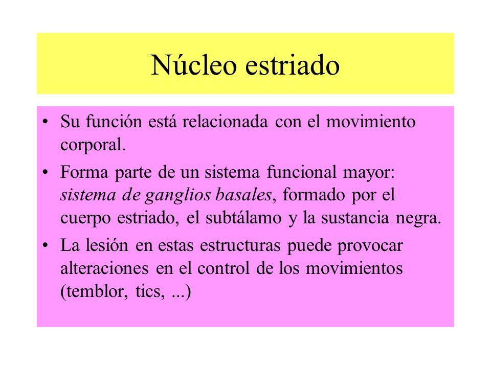 Núcleo estriado Su función está relacionada con el movimiento corporal. Forma parte de un sistema funcional mayor: sistema de ganglios basales, formad