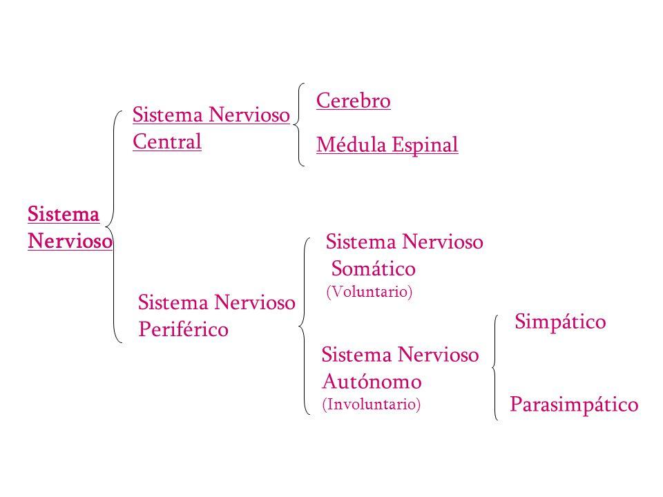 Sistema Nervioso Sistema Nervioso Central Sistema Nervioso Periférico Cerebro Médula Espinal Sistema Nervioso Somático (Voluntario) Sistema Nervioso A