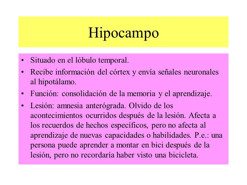 Hipocampo Situado en el lóbulo temporal. Recibe información del córtex y envía señales neuronales al hipotálamo. Función: consolidación de la memoria