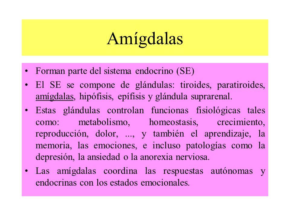 Forman parte del sistema endocrino (SE) El SE se compone de glándulas: tiroides, paratiroides, amígdalas, hipófisis, epífisis y glándula suprarenal. E