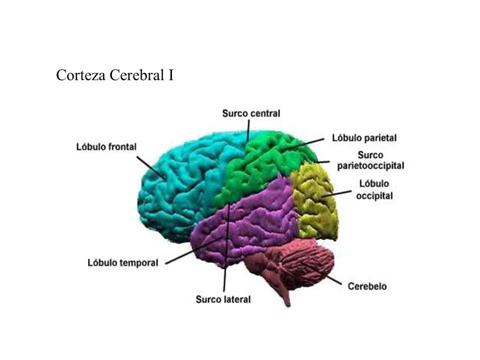 Corteza Cerebral I