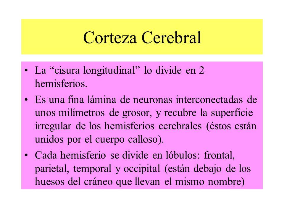 Corteza Cerebral La cisura longitudinal lo divide en 2 hemisferios. Es una fina lámina de neuronas interconectadas de unos milímetros de grosor, y rec
