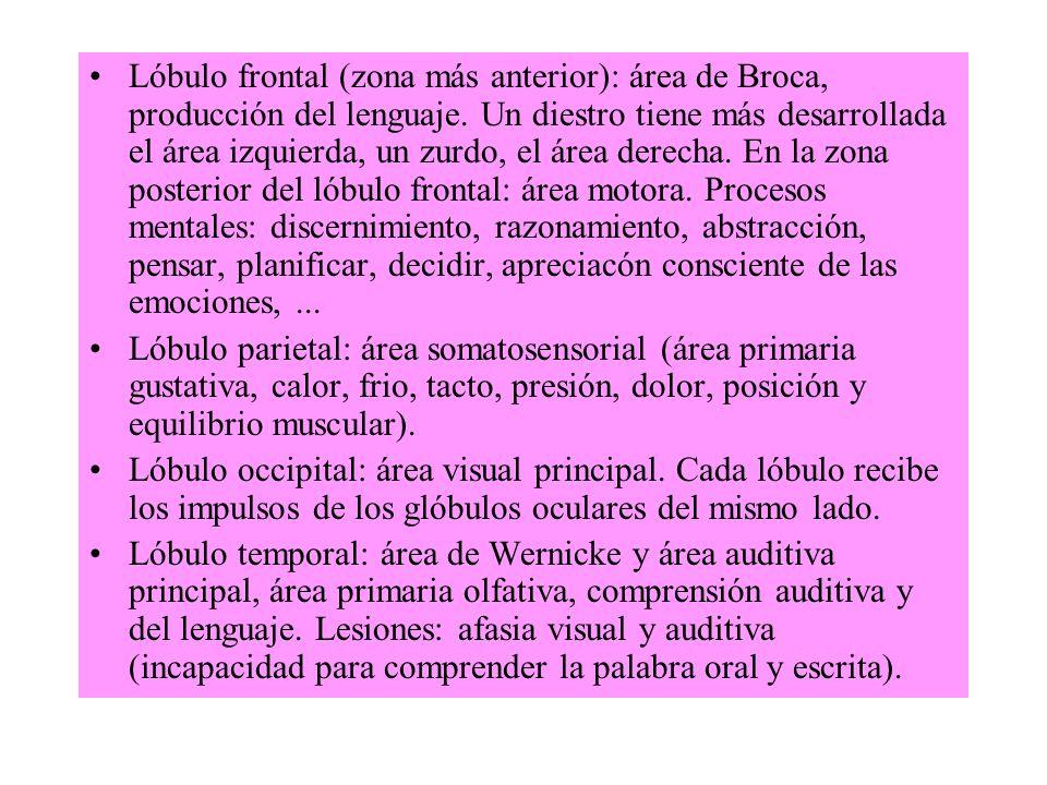 Lóbulo frontal (zona más anterior): área de Broca, producción del lenguaje. Un diestro tiene más desarrollada el área izquierda, un zurdo, el área der