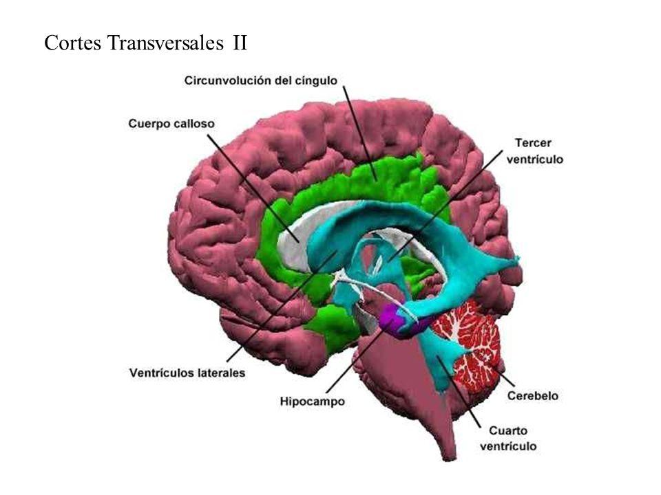 Cortes Transversales II
