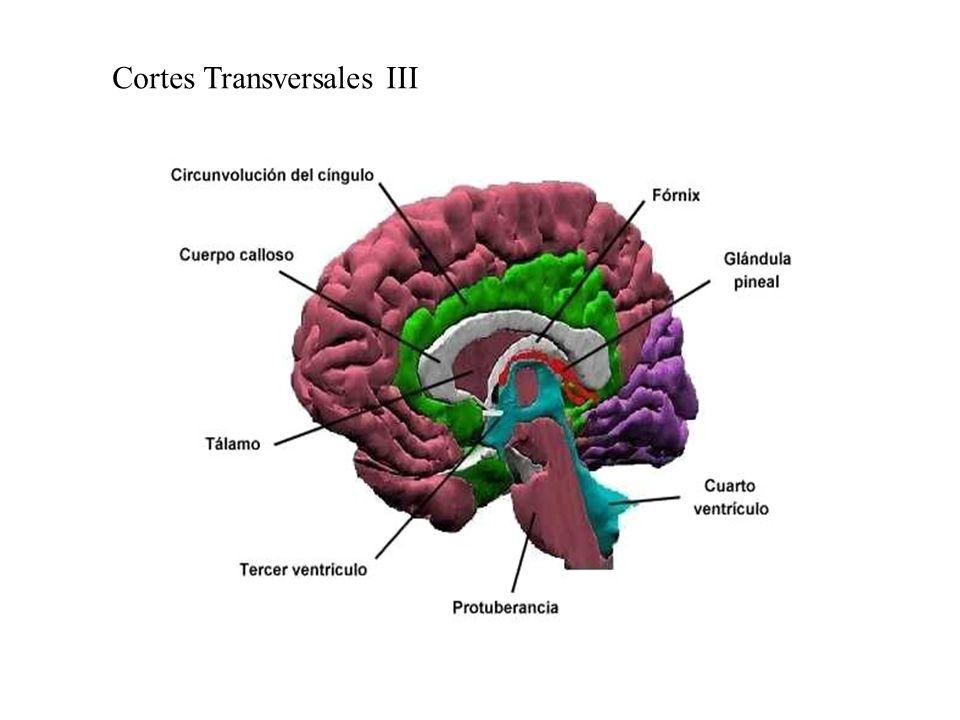 Cortes Transversales III