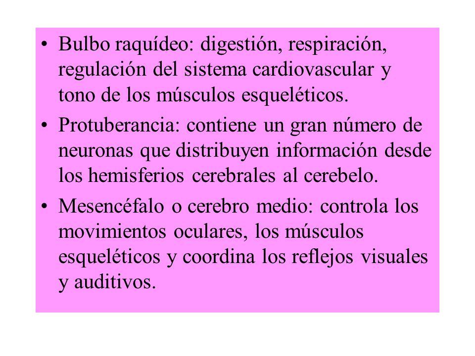 Bulbo raquídeo: digestión, respiración, regulación del sistema cardiovascular y tono de los músculos esqueléticos. Protuberancia: contiene un gran núm