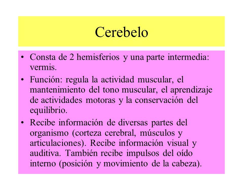 Consta de 2 hemisferios y una parte intermedia: vermis. Función: regula la actividad muscular, el mantenimiento del tono muscular, el aprendizaje de a