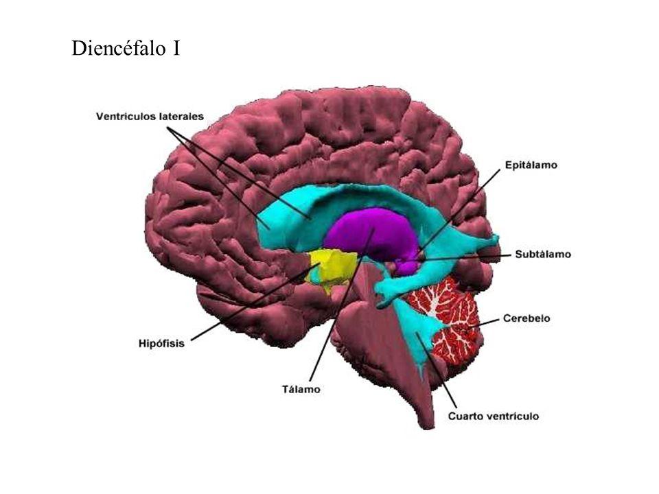 Está relacionado con las respuestas emocionales, el aprendizaje y la memoria.