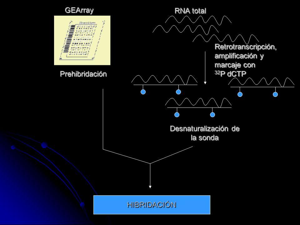 GEArray RNA total Prehibridación Retrotranscripción, amplificación y marcaje con 32 P dCTP Desnaturalización de la sonda HIBRIDACIÓN