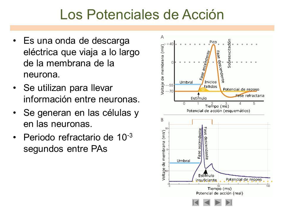 Los Potenciales de Acción Es una onda de descarga eléctrica que viaja a lo largo de la membrana de la neurona. Se utilizan para llevar información ent