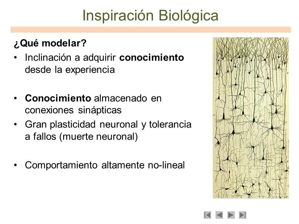 Inspiración Biológica ¿Qué modelar? Inclinación a adquirir conocimiento desde la experiencia Conocimiento almacenado en conexiones sinápticas Gran pla