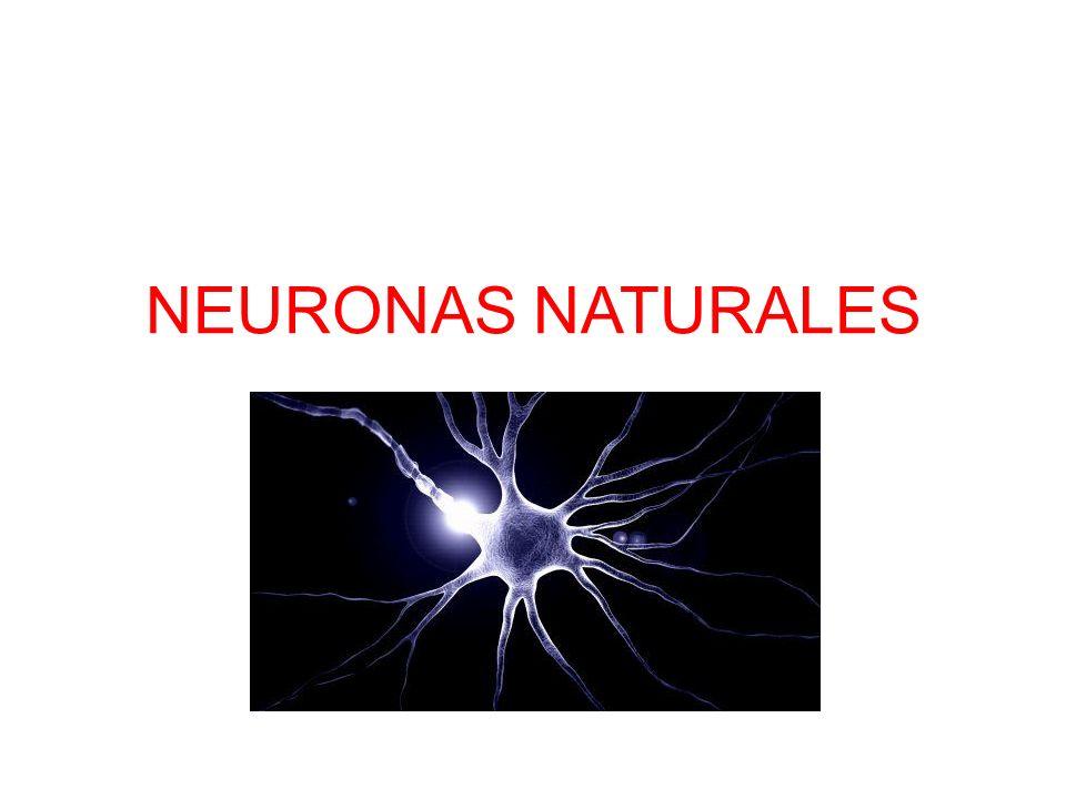 El Cerebro Humano Gran velocidad de proceso Trata gran cantidad de información –Los sentidos –Memoria almacenada Capacidad de tratar situaciones nuevas Capacidad de aprendizaje Almacenamiento redundante.