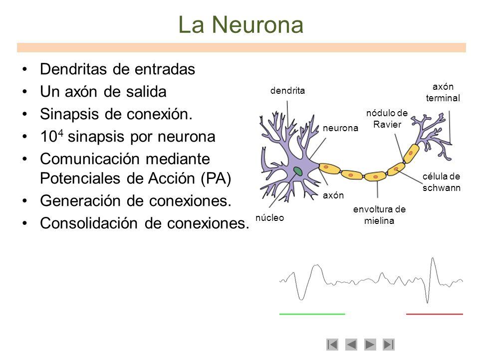 La Neurona Dendritas de entradas Un axón de salida Sinapsis de conexión. 10 4 sinapsis por neurona Comunicación mediante Potenciales de Acción (PA) Ge