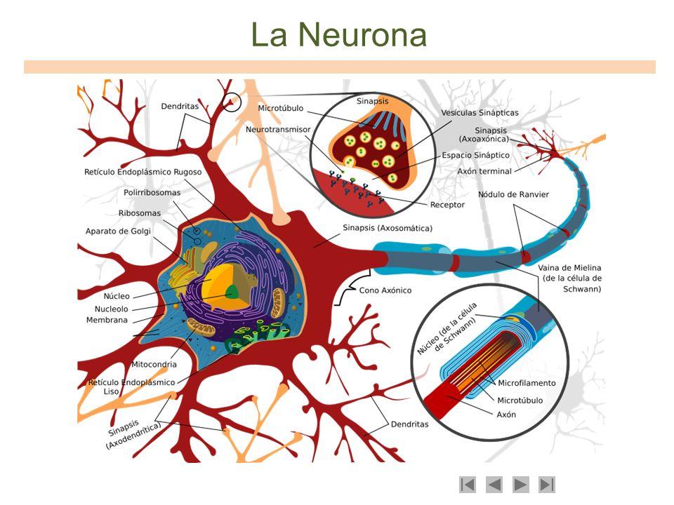 Conexiones Neuronales Cuerpo Dendritas Axon Señal Sinapsis (Información)