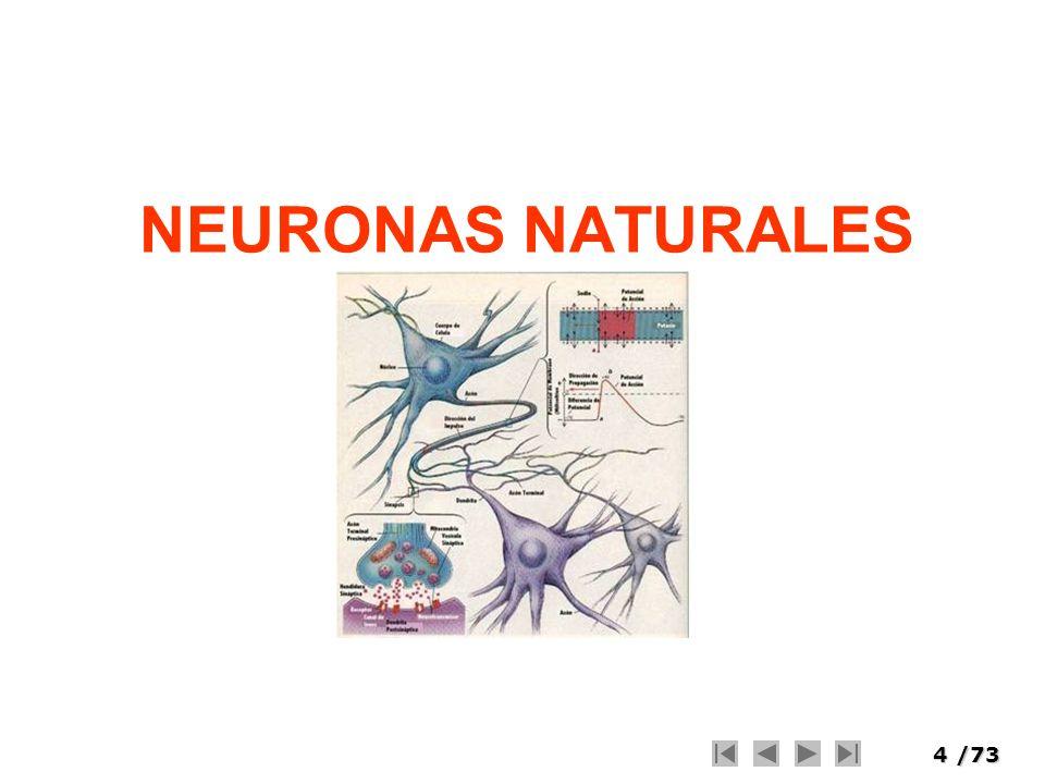 5/73 Cerebro Humano 10 11 Neuronas (procesadores) Poder desconocido 1000 – 10000 conecciones por neurona Capacidad basada en las conexiones.