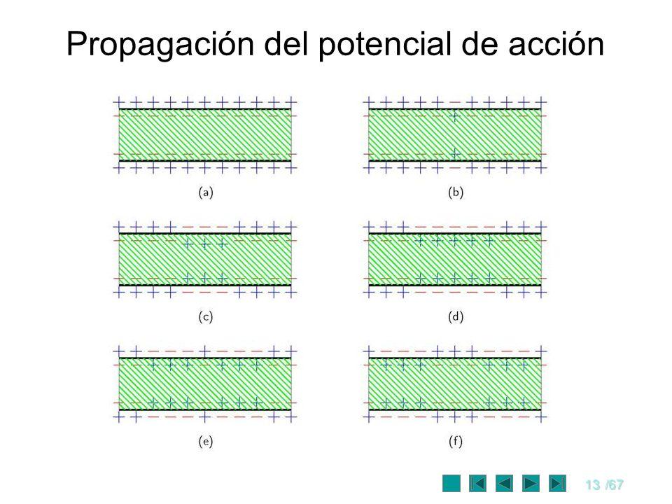 13/67 Propagación del potencial de acción