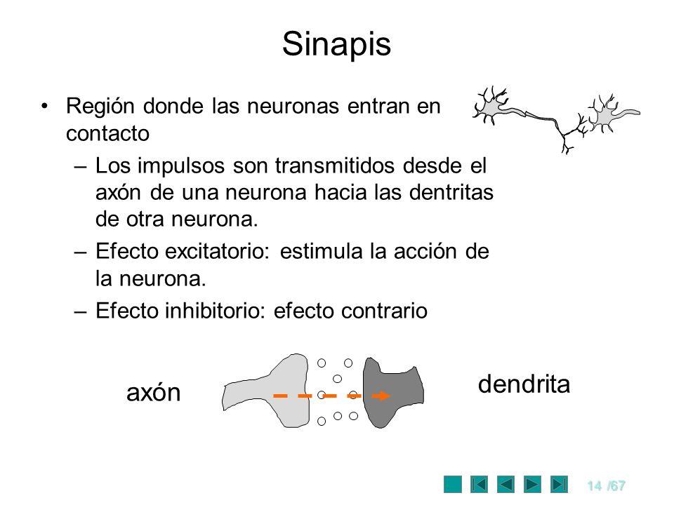 14/67 Sinapis Región donde las neuronas entran en contacto –Los impulsos son transmitidos desde el axón de una neurona hacia las dentritas de otra neu