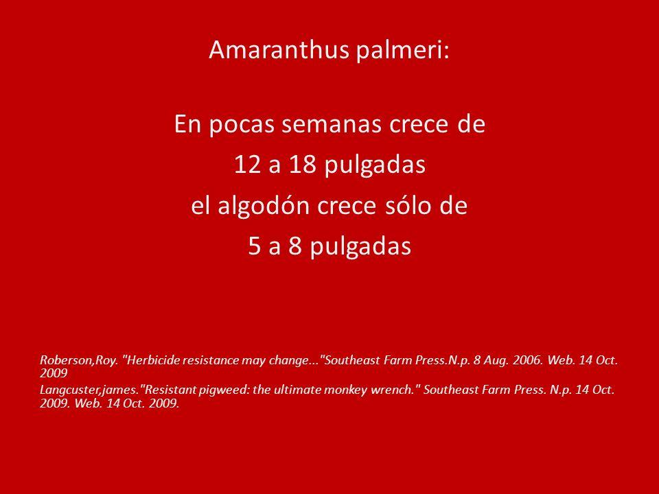 Amaranthus palmeri: En pocas semanas crece de 12 a 18 pulgadas el algodón crece sólo de 5 a 8 pulgadas Roberson,Roy.