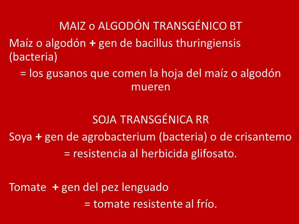 MAIZ o ALGODÓN TRANSGÉNICO BT Maíz o algodón + gen de bacillus thuringiensis (bacteria) = los gusanos que comen la hoja del maíz o algodón mueren SOJA