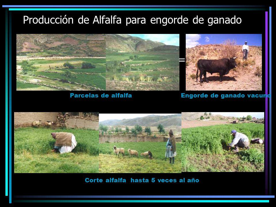 Producción de Alfalfa para engorde de ganado Parcelas de alfalfa Corte alfalfa hasta 5 veces al año Engorde de ganado vacuno =