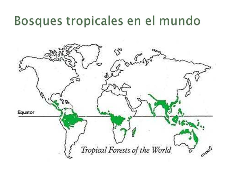 Los bosques absorban el dioxido de carbono (CO2) del aire Los bosques son un almacenamiento de carbono Los bosques tropicales son responsables en más de 25% de la fijación del carbono en la tierra a nivel mundial Función reguladora térmica mundial Se puede calcular el carbono en un arbol