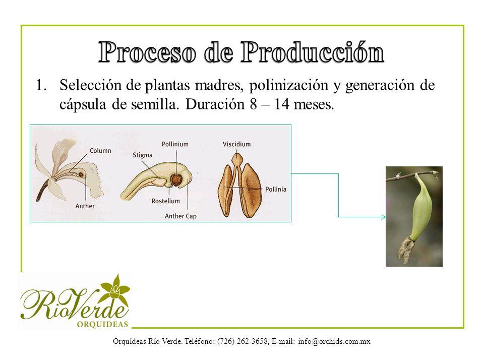 Orquídeas Río Verde. Teléfono: (726) 262-3658, E-mail: info@orchids.com.mx 1.Selección de plantas madres, polinización y generación de cápsula de semi