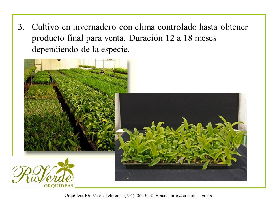 Orquídeas Río Verde. Teléfono: (726) 262-3658, E-mail: info@orchids.com.mx 3. Cultivo en invernadero con clima controlado hasta obtener producto final