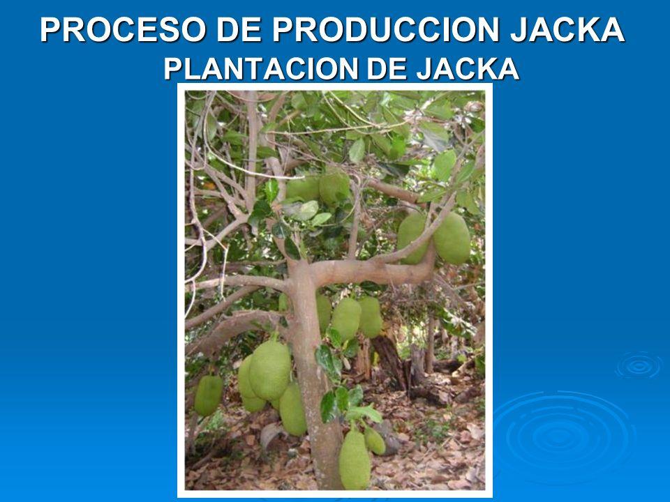 PLANTACION DE JACKA PROCESO DE PRODUCCION JACKA