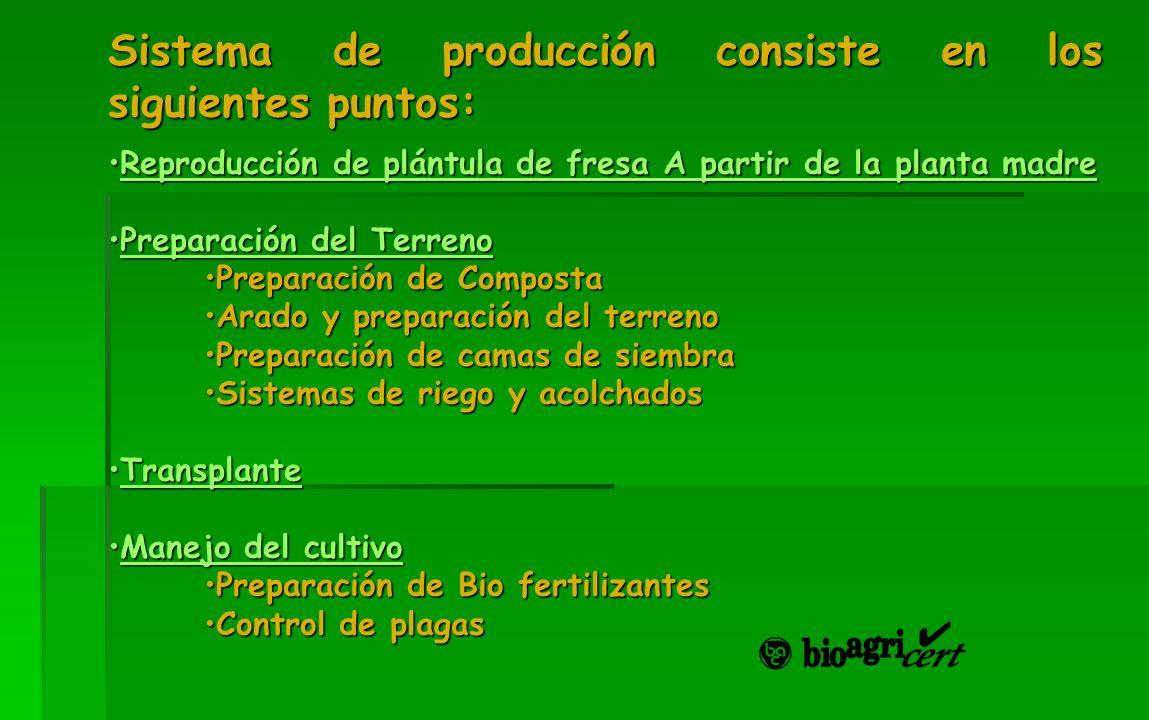 Sistema de producción consiste en los siguientes puntos: Reproducción de plántula de fresa A partir de la planta madreReproducción de plántula de fres