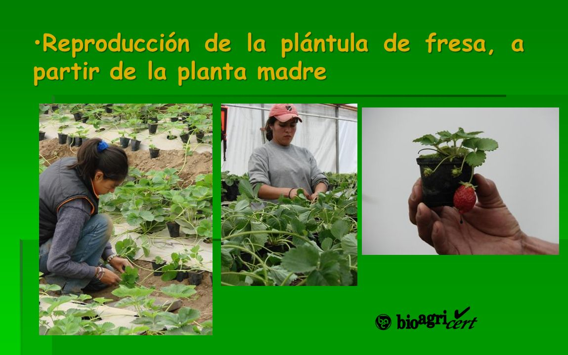 Reproducción de la plántula de fresa, a partir de la planta madreReproducción de la plántula de fresa, a partir de la planta madre