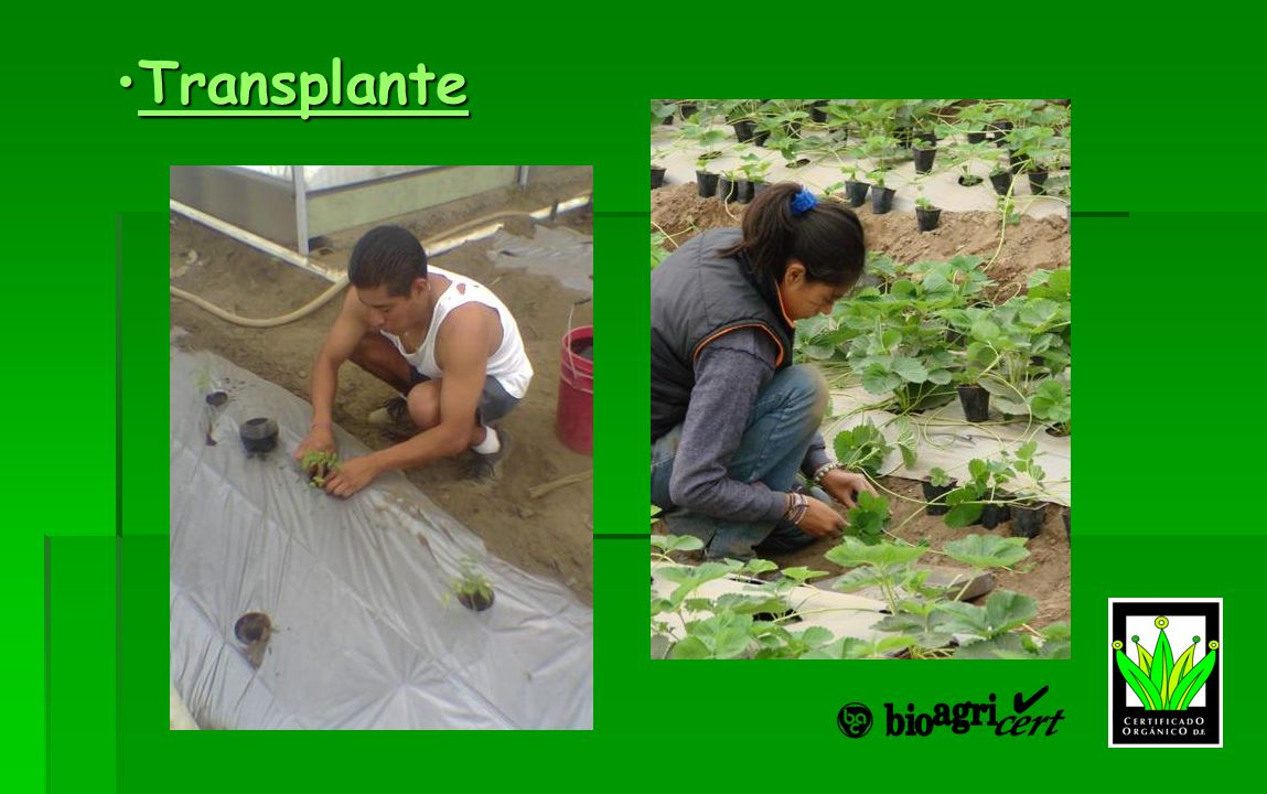 TransplanteTransplanteTransplante