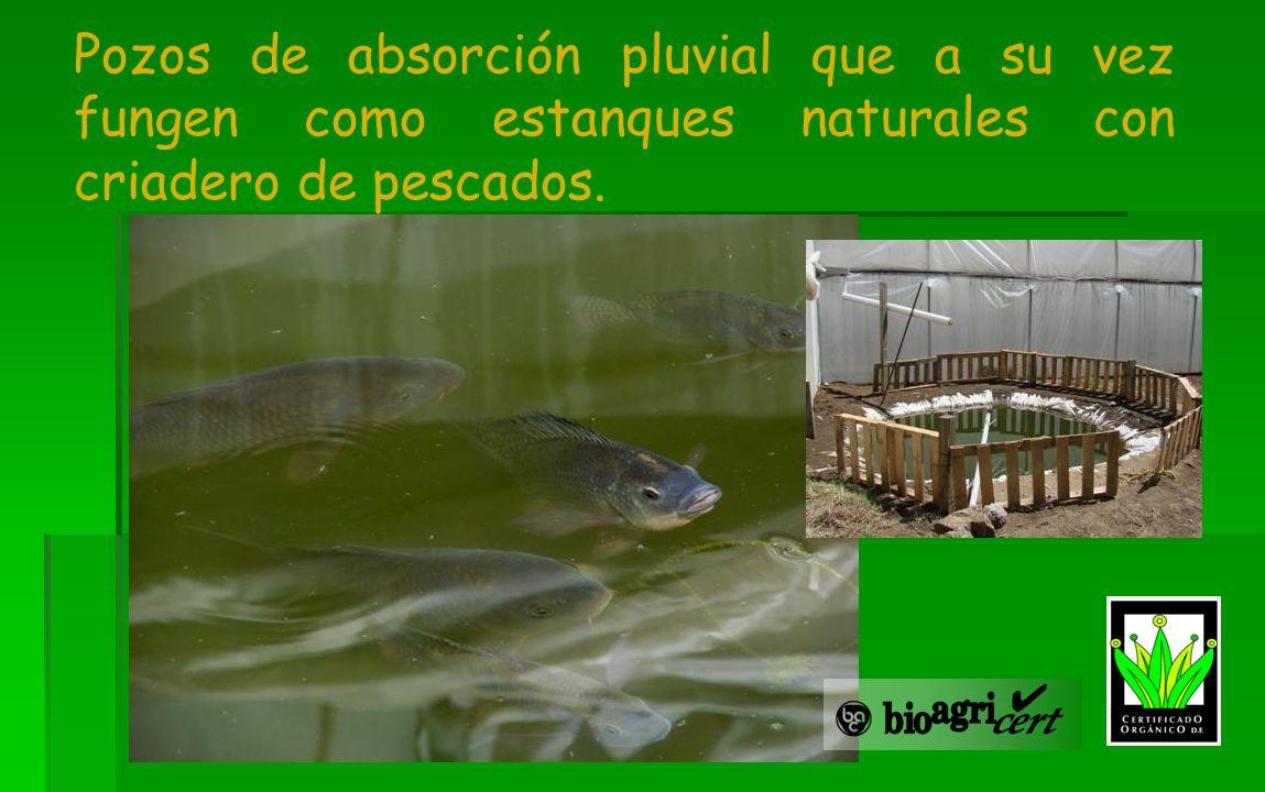 Pozos de absorción pluvial que a su vez fungen como estanques naturales con criadero de pescados.