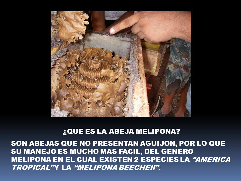 ¿QUE ES LA ABEJA MELIPONA? SON ABEJAS QUE NO PRESENTAN AGUIJON, POR LO QUE SU MANEJO ES MUCHO MAS FACIL, DEL GENERO MELIPONA EN EL CUAL EXISTEN 2 ESPE