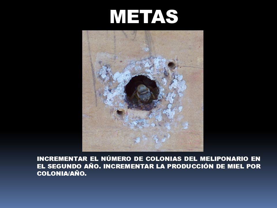 METAS INCREMENTAR EL NÚMERO DE COLONIAS DEL MELIPONARIO EN EL SEGUNDO AÑO. INCREMENTAR LA PRODUCCIÓN DE MIEL POR COLONIA/AÑO.