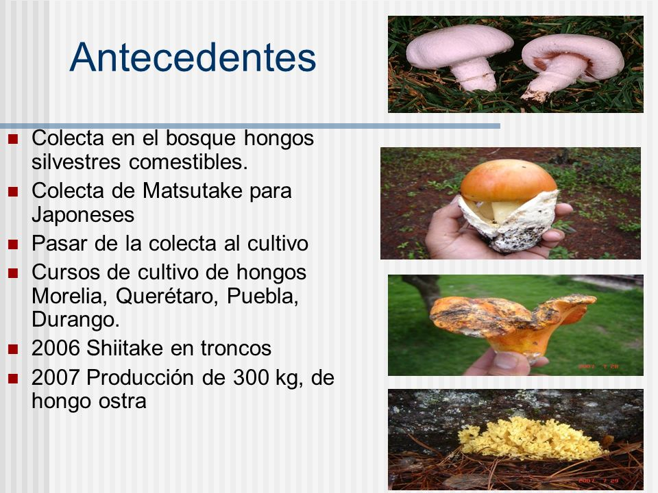 Antecedentes Colecta en el bosque hongos silvestres comestibles. Colecta de Matsutake para Japoneses Pasar de la colecta al cultivo Cursos de cultivo