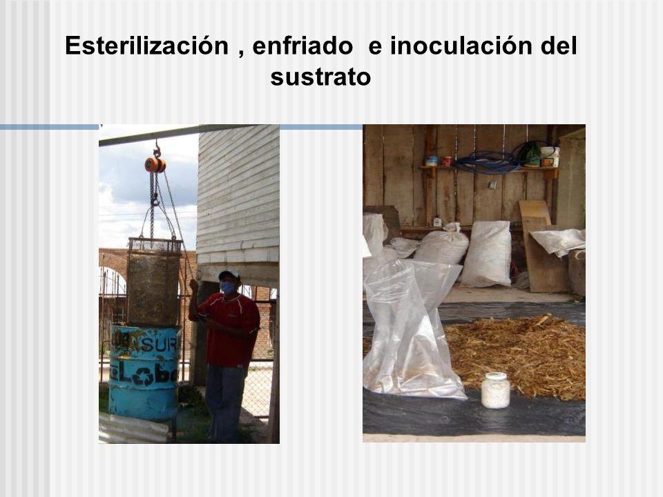 Esterilización, enfriado e inoculación del sustrato
