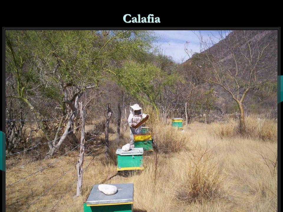 Calafia