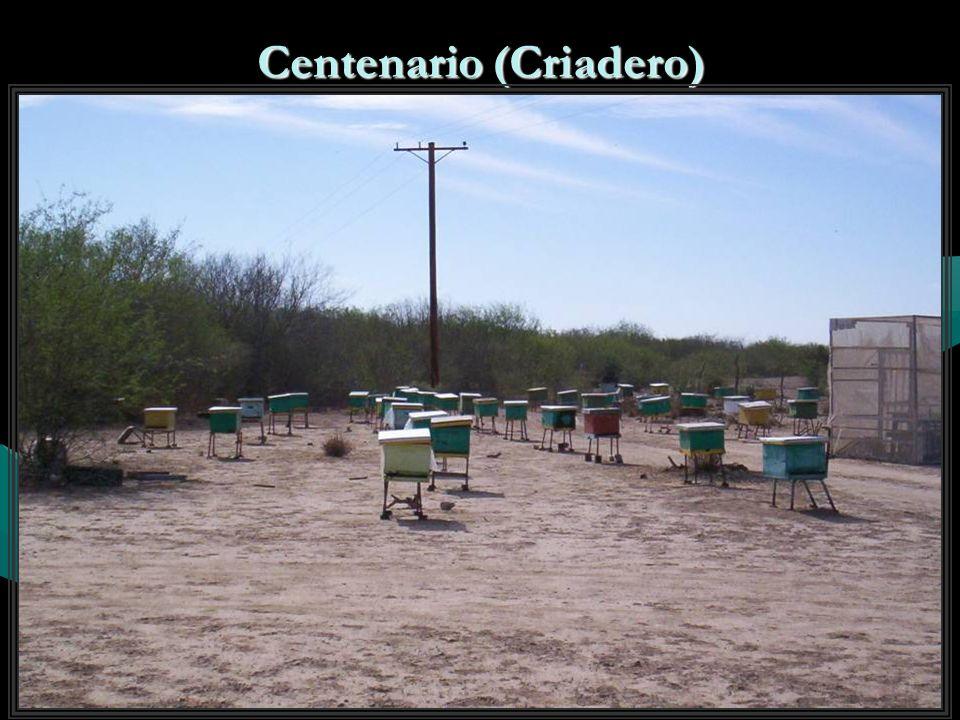 Centenario (Criadero)