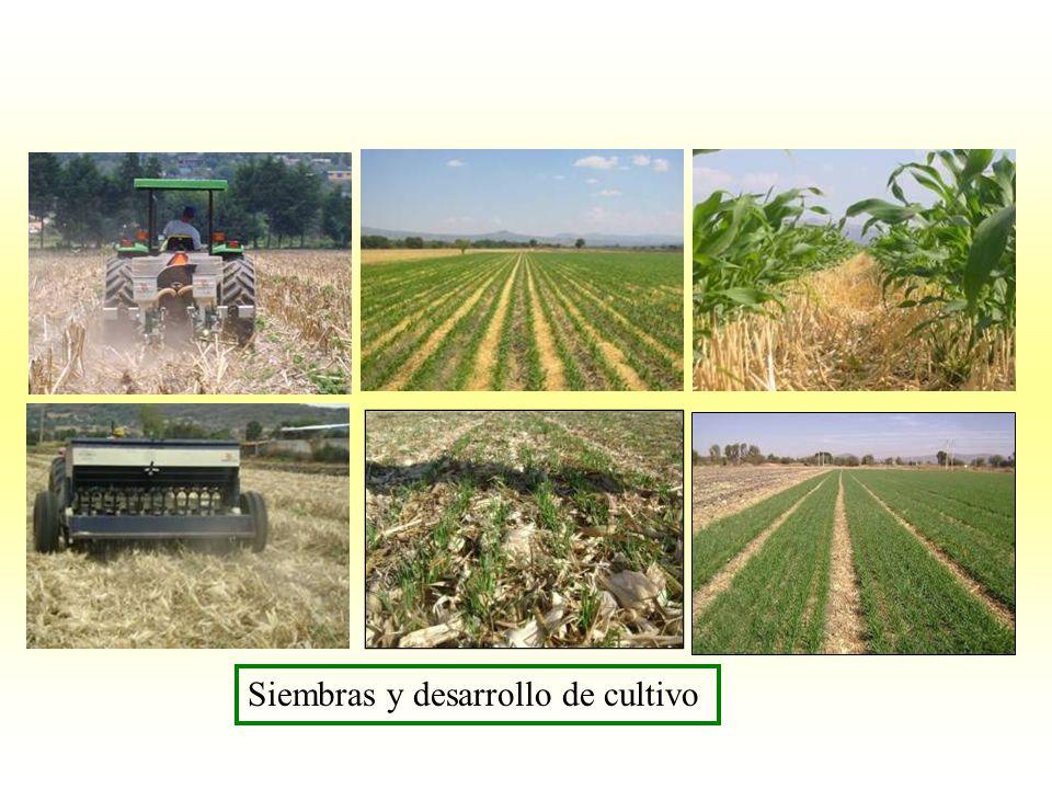 Siembras y desarrollo de cultivo