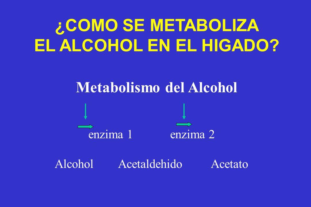enzima 1 enzima 2 Alcohol Acetaldehido Acetato ¿COMO SE METABOLIZA EL ALCOHOL EN EL HIGADO? Metabolismo del Alcohol