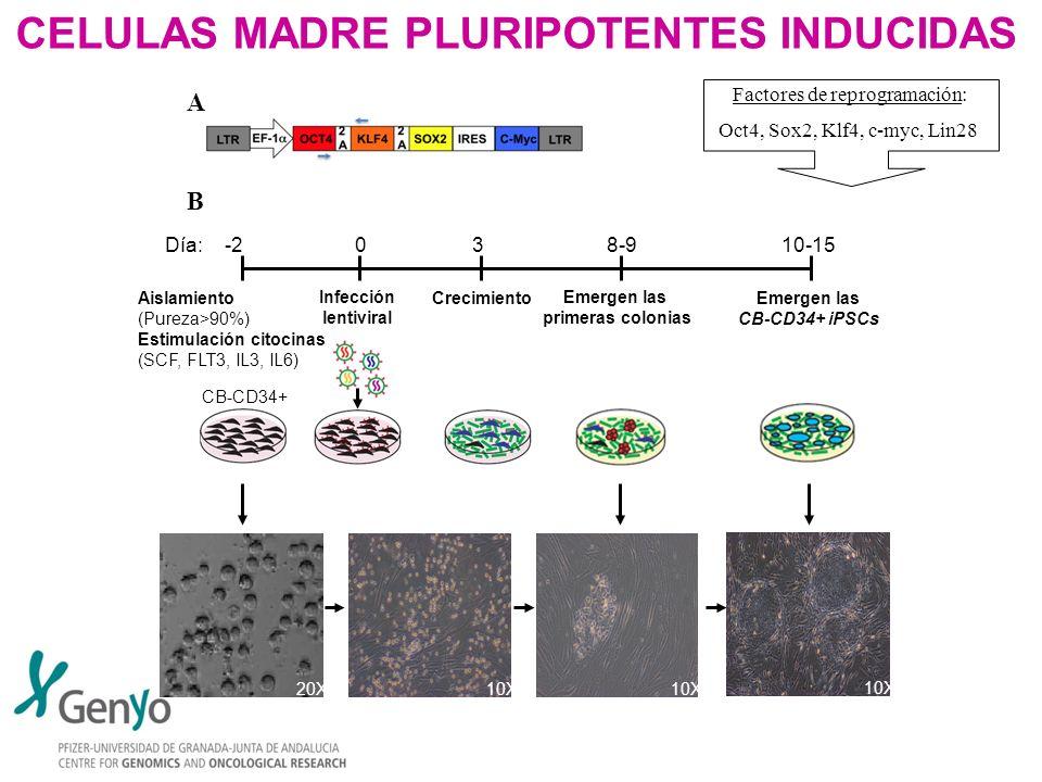 CELULAS MADRE PLURIPOTENTES INDUCIDAS Factores de reprogramación: Oct4, Sox2, Klf4, c-myc, Lin28 A B CB-CD34+ Día: -2 0 3 8-9 10-15 Aislamiento (Purez