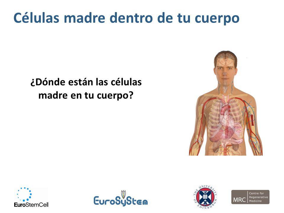 ¿Dónde están las células madre en tu cuerpo? Células madre dentro de tu cuerpo