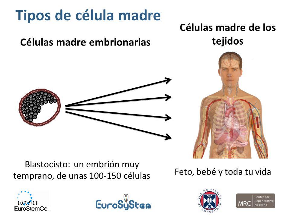 10/05/11 Células madre embrionarias Células madre de los tejidos Blastocisto: un embrión muy temprano, de unas 100-150 células Feto, bebé y toda tu vi