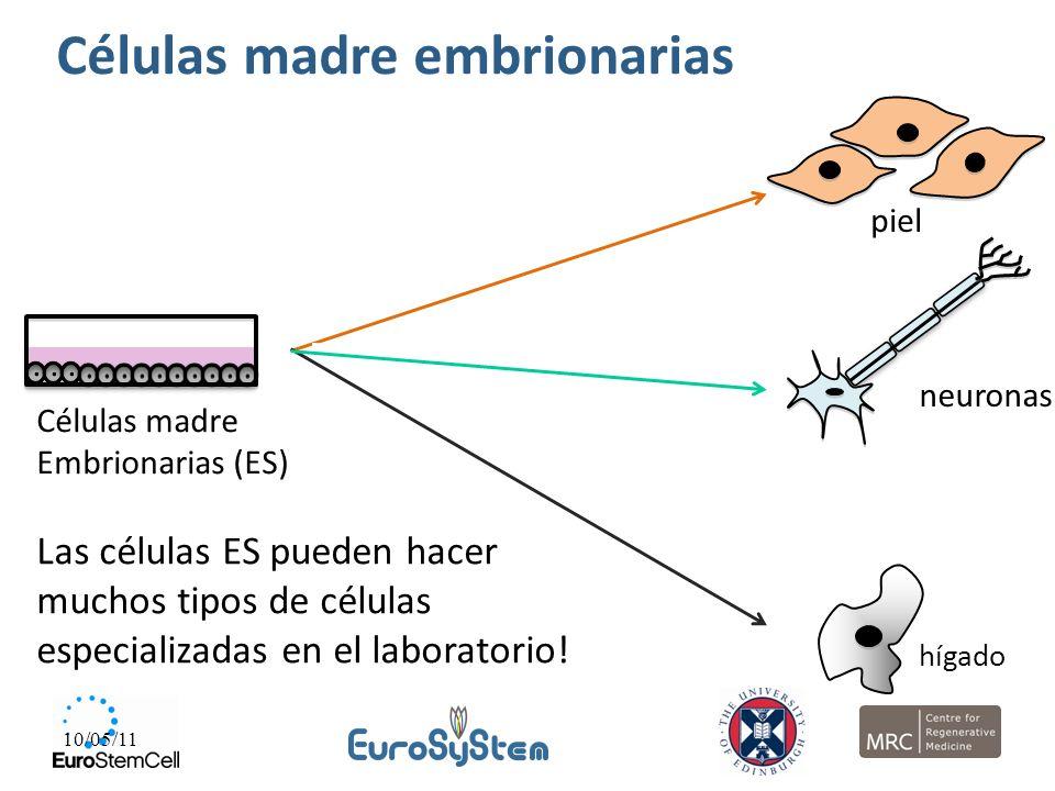 10/05/11 Células madre Embrionarias (ES) piel hígado neuronas Las células ES pueden hacer muchos tipos de células especializadas en el laboratorio! Cé