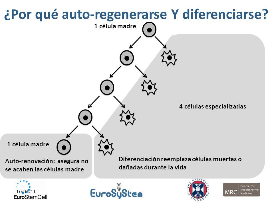 10/05/11 1 célula madre Auto-renovación: asegura no se acaben las células madre ¿Por qué auto-regenerarse Y diferenciarse? 1 célula madre 4 células es