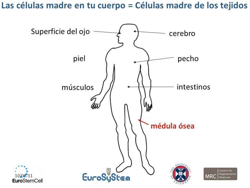 10/05/11 Las células madre en tu cuerpo = Células madre de los tejidos Superficie del ojo cerebro piel pecho músculos intestinos médula ósea