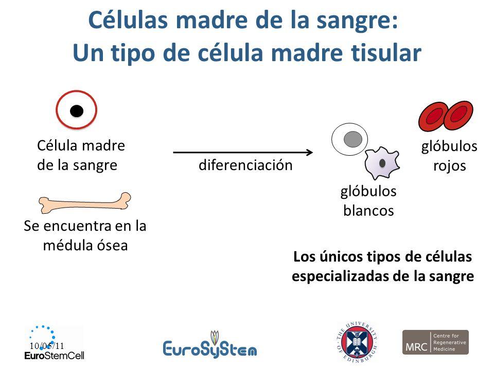 10/05/11 Células madre de la sangre: Un tipo de célula madre tisular Célula madre de la sangre Se encuentra en la médula ósea diferenciación Los único