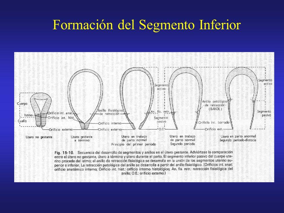 Fenómenos pasivos Formación del segmento inferior.